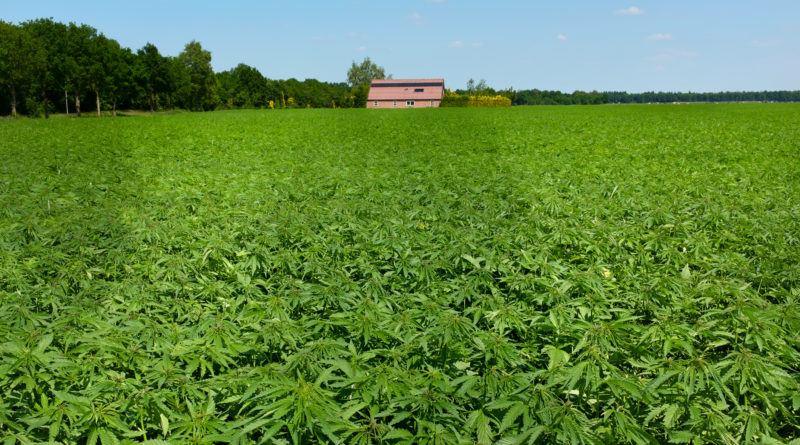 Farmers Experiment with Hemp Amid Trade Challenges – Farm