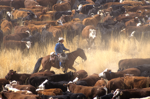 Cattle Ranchers Fight Fake Meat Movement