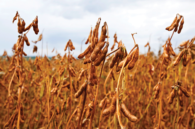 Soybean-Spiking Scheme Leads to Prison Time